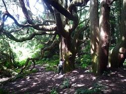 高森殿の大杉