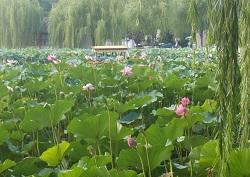 北海公園は、見事な蓮の花盛り